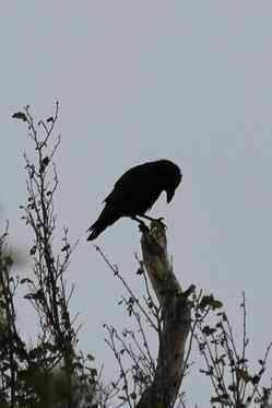 Raven at Grasspoint View - 1