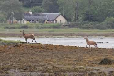 Red Deer at Lochdon