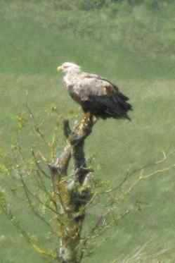 Sea Eagle at Grasspoint View