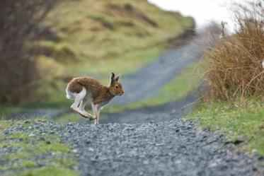 Mountain hare2