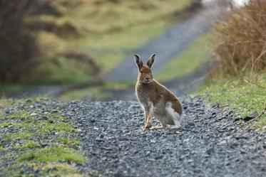 Mountain hare1