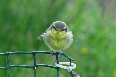 Baby Blue Tit at Eastcroft