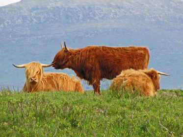 Cattle at Ulva