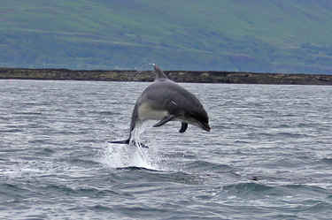 Dolphin near Inch Kenneth 1