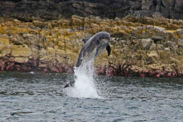 Dolphin near Inch Kenneth