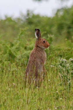Hare at Lochdon