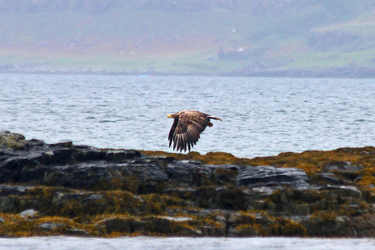 Sea eagle at Ulva