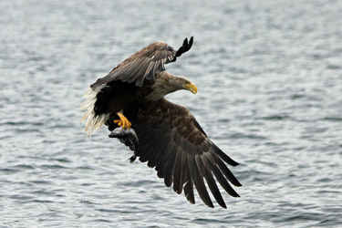 Sea eagle on Loch Na Keal 1