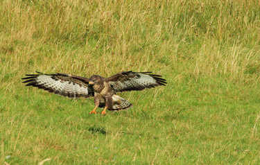 Buzzard landing to steal kill from Golden eagle
