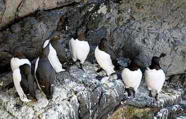 Guillemots on nesting ledge