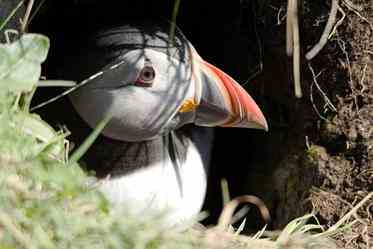Puffin in nest burrow