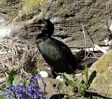 Shag at nest with eggs