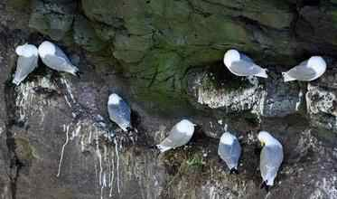 Kittiwakes on nesting ledge