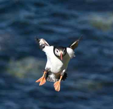 Puffin approaching the runway