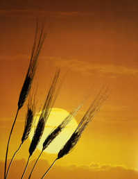 Wheat in sun