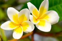 fleurs-de-tiaré