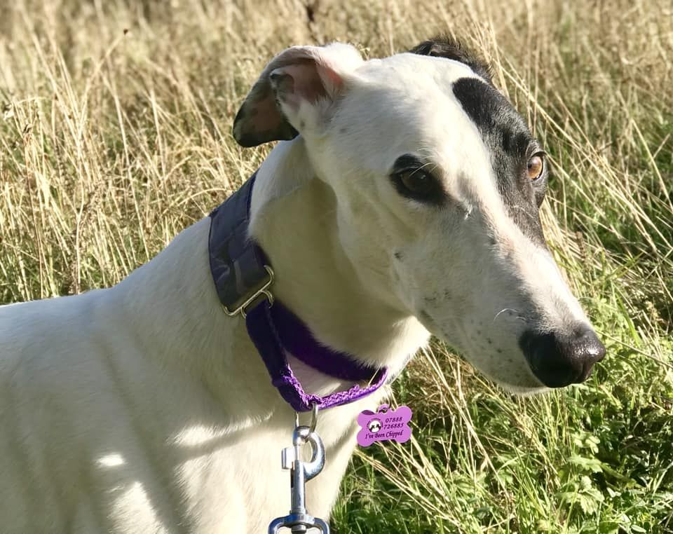 Snoop Four Year Old Male Greyhound