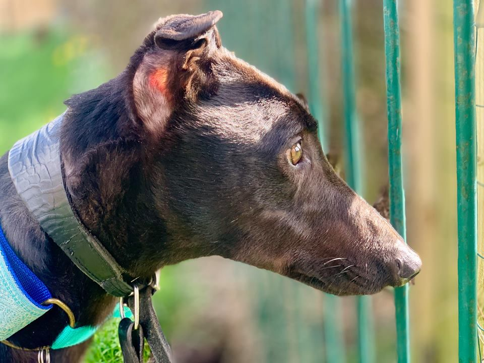 Bert Four Year Old Male Greyhound