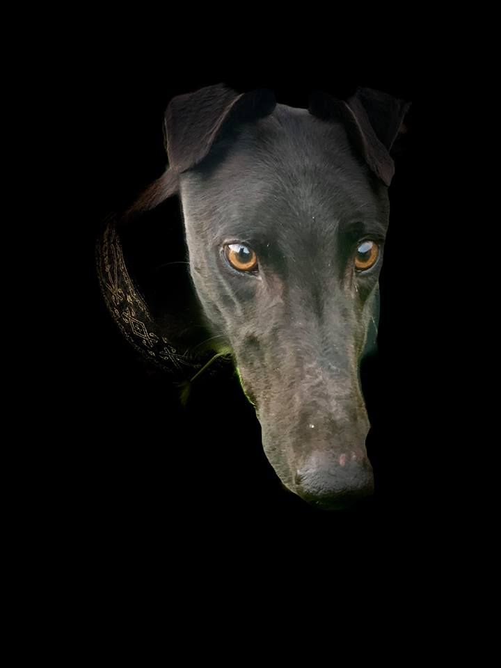 Shane Two Year Old Male Greyhound