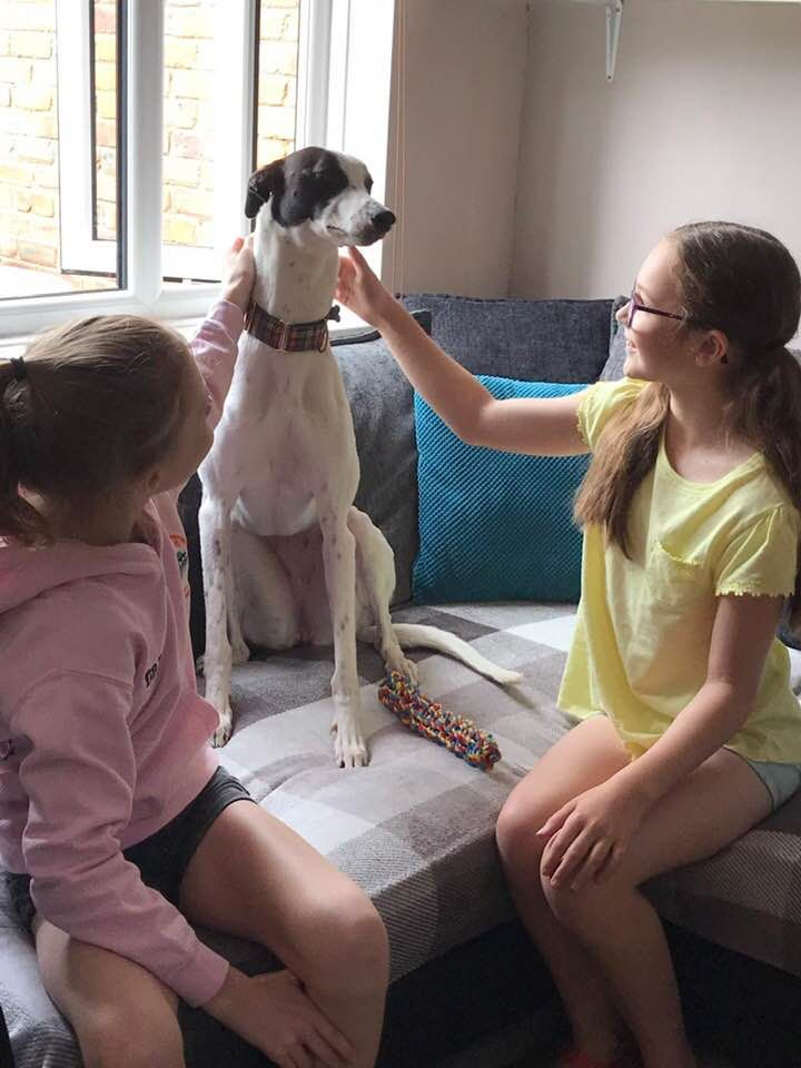 Pixie Two Year Old Female Greyhound