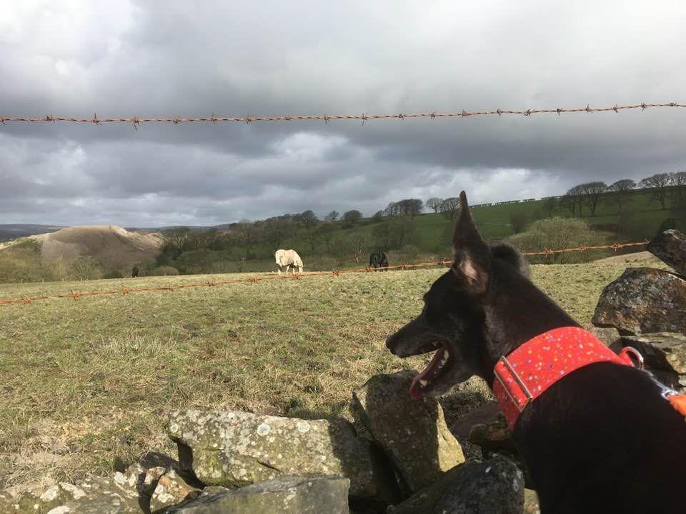 Star Five Year Old Female Greyhound