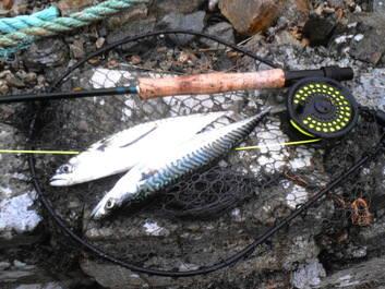 mackerel brace