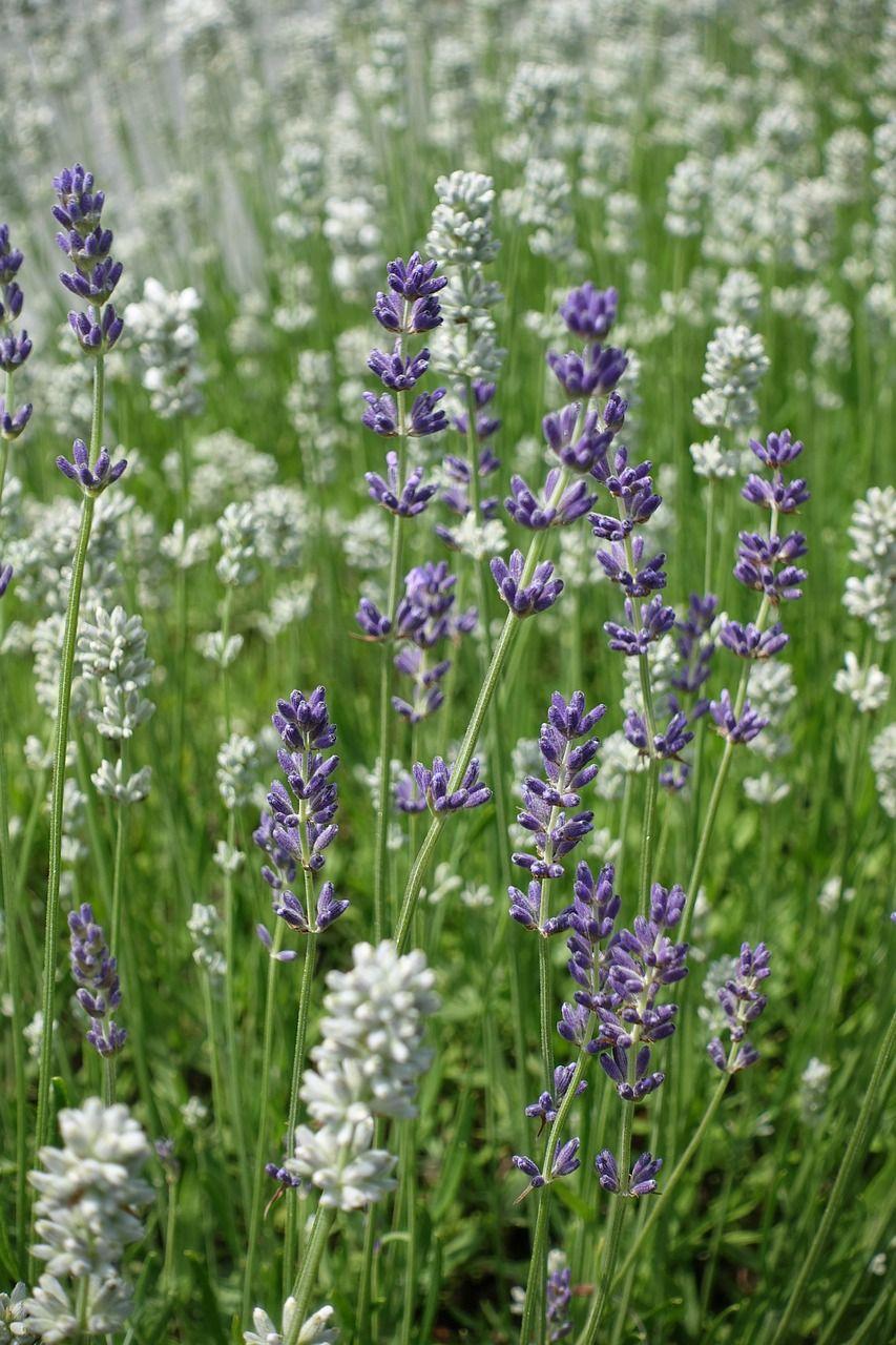 Lavender Blanc - 50g