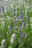 Lavender Blanc