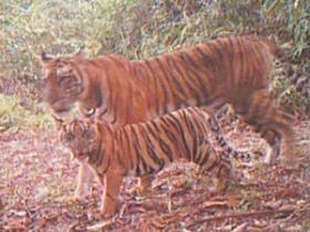 Tiger conservation project in Sumatra