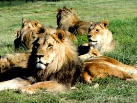 Volunteer at a lion sanctuary in South Africa