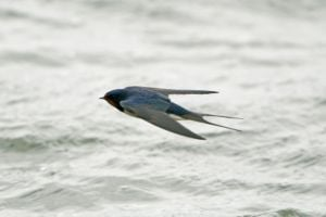 Swallows are amazing fliers