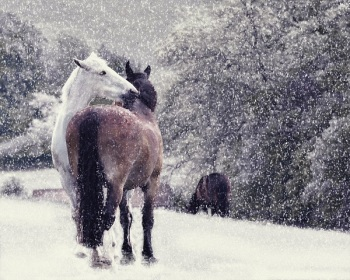 Christmas cards from The Horse Trust