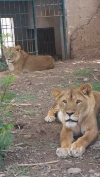 Visit A Lions' Heart facebook page for more news and info