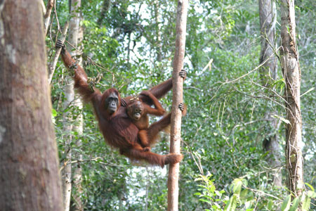 Help orangutans on the Orangutan Foundation's Volunteer Programme