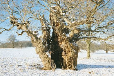 Help the Woodland Trust with its inventory of Ancient Trees