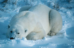 The 27th February is International Polar Bears Day
