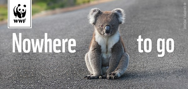 Click here to find out more and help the koala