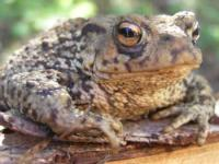 Protect a toad, a frog or a snake
