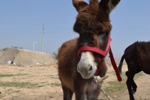 Give a donkey a comfortable new headcollar with a Perfect Fit