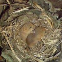 Honeymoon hamper for dormice from PTES