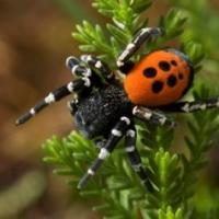 Donate to help save the Ladybird spider