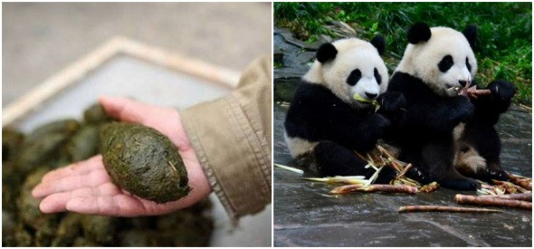 Panda poo to become toilet tissue