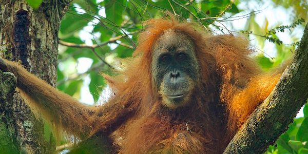 Sign here to help save the Tapanuli orangutan