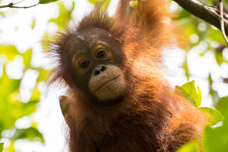 Can you give a donation to the Orangutan Foundation's urgent appeal?