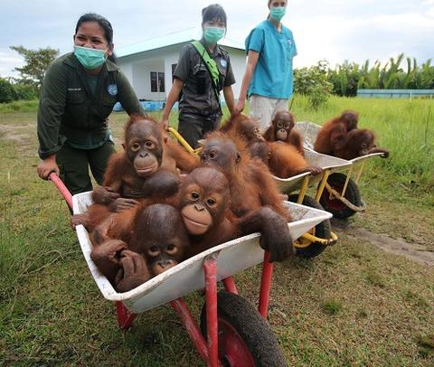 Give baby orangutans a wheelbarrow