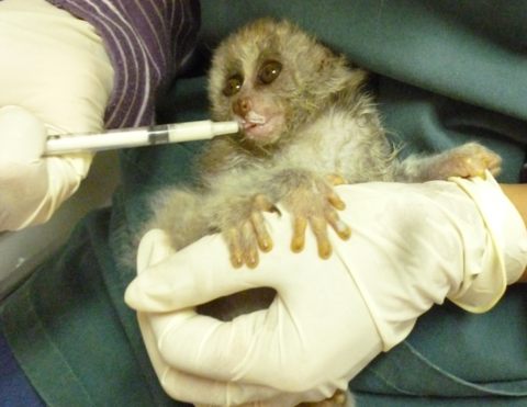 Give a Life saving syringe to help a loris