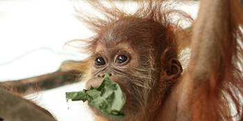 Feed a rescued orangutan for a month