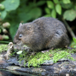 Help the PTES help water voles