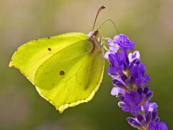 Help Butterfly Conservation with their online auction
