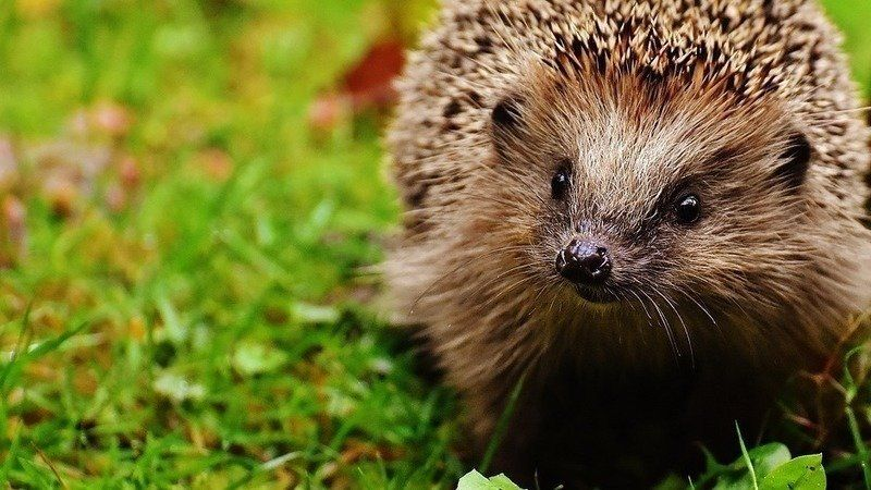 Save hedgehogs